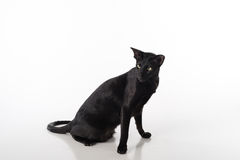 Curious Black Oriental Shorthair Cat Sitting on White Table with Reflection. White Background. Royalty Free Stock Images