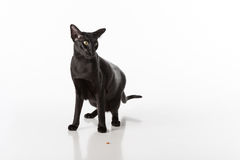 Curious Black Oriental Shorthair Cat Sitting on White Table with Reflection. White Background. Food on the Ground. Stock Images