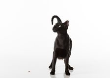 Curious Black Oriental Shorthair Cat Sitting on White Table with Reflection. White Background. Looking Up. Food on the Ground. Royalty Free Stock Photo