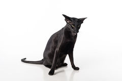 Curious Black Oriental Shorthair Cat Sitting on White Table with Reflection. White Background. Open Mouth. Angry Stock Photo