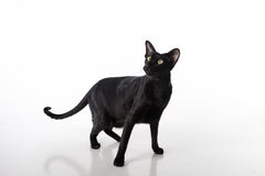 Curious Black Oriental Shorthair Cat Standing on White Table with Reflection. White Background. Long Tail. Royalty Free Stock Images