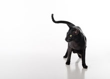 Curious Black Oriental Shorthair Cat Standing on White Table with Reflection. White Background. Long Tail. Royalty Free Stock Photo