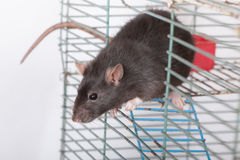 Curious black rat Stock Image