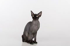 Curious Black Sphynx Cat with green nails. Isolated on white background. Looking Up. Royalty Free Stock Photo