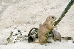 Curious Black Tail Prairie Dog Royalty Free Stock Images