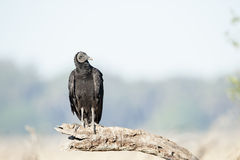 Curious Black Vulture Royalty Free Stock Photo