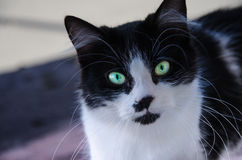Curious black and white cat. A friendly visitor Stock Image