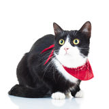 Curious black and white cat wearing red scarf. Isolated on white background stock photo