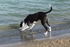 Curious black and white dog investigating something in the water. Cute and curious black and white mixed breed dog, labrador retriever and pit bullterrier, with stock image