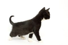 Curious black and white kitten Royalty Free Stock Photos