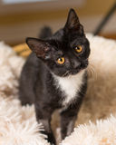 Curious black and white kitten. Young black and white domestic short medium hair kitten cat feline with yellow eyes making eye contact sitting on soft blanket Stock Image