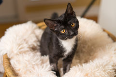 Curious black and white kitten. Young black and white domestic short medium hair kitten cat feline with yellow eyes making eye contact sitting on soft blanket Royalty Free Stock Photo
