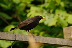 Curious Blackbird (Turdus merula) stock images