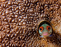 Curious Blenny stock photo