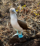Curious blue footed booby seabird on Galapagos Royalty Free Stock Photography