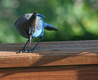 Curious blue jay Royalty Free Stock Photo