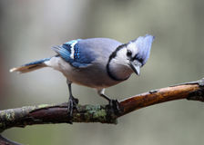 Curious Blue Jay. A curious blue jay (Cyanocitta cristata) perching on a branch in Fall Royalty Free Stock Images