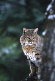 Curious Bobcat Royalty Free Stock Image