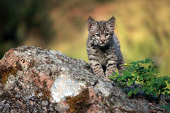 Curious Bobcat Kitten. Bobcat Kitten learning stalking behavior Royalty Free Stock Image