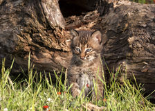 Curious Bobcat Kitten. Bobcat kitten exploring in front of a log with wildflowers in background Stock Image