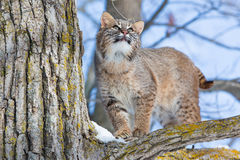 Curious bobcat in tree. In wintertime Stock Photography