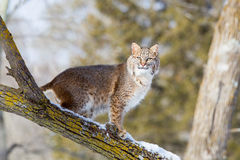 Curious bobcat in tree Stock Images