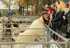 Curious Boer goat. Male Boer goat looking over the fence of the enclosure at the exhibition of farm animals in Vendryne, Czech Republic, October 14, 2017 stock images