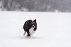 Curious Border Collie Dog Running on Snow. Winter Background. royalty free stock image