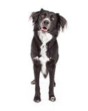 Curious Border Collie Mix Breed Dog Standing. An attentive and curious Border Collie Mix Breed Dog standing while looking upwards Royalty Free Stock Photos