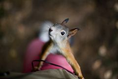 Curious brave wild squirrel with a fluffy tail climbs on the foo Royalty Free Stock Photos