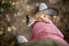 Curious brave wild squirrel with a fluffy tail climbs on the foo. T of a man in the autumn forest Royalty Free Stock Photography