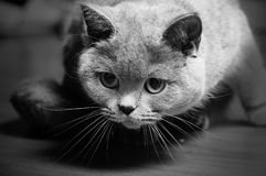 Curious british cat Royalty Free Stock Images