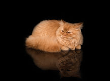 Curious British Longhair Cat Lying on the black desk with reflection. Black background. Looking back Royalty Free Stock Image