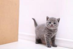 Curious British Shorthair kitten full portrait Royalty Free Stock Photos