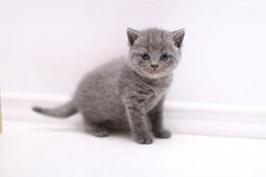 Curious British Shorthair kitten full portrait. Cute British Shorthair kitten portrait, white background Royalty Free Stock Image