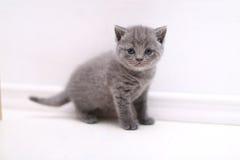 Curious British Shorthair kitten full portrait Royalty Free Stock Image