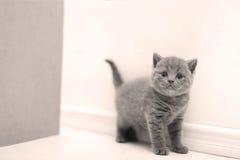Curious British Shorthair kitten full portrait Stock Image