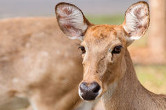 Curious Brow-Antlered Deer Royalty Free Stock Photo