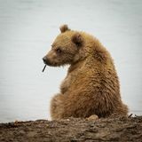 Curious Brown baby-bear in Katmia NP, Alaska. Curious Brown baby-bear in Katmia NP in Alaska, baby bear back sight, little bear looking at us, wild animals in royalty free stock photo