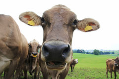 Curious brown cattle Stock Photo