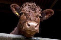 Curious Brown Cow – British Cattle royalty free stock photo