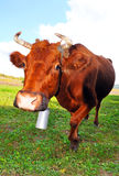Curious brown cow looking into  the lens. Royalty Free Stock Photo