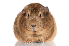 Curious brown guinea pig Royalty Free Stock Photos