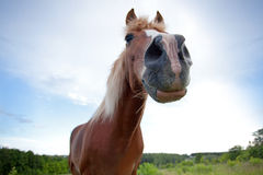 Curious brown horse. Stretched out his neck Royalty Free Stock Images