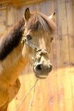 Curious brown horse Stock Photos