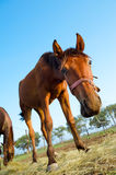Curious brown horse, low angle Royalty Free Stock Photography