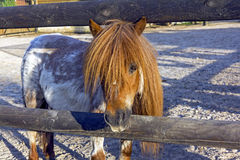 Curious brown ponny Stock Images