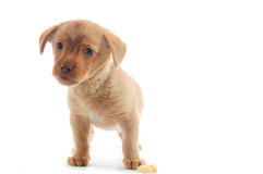 Curious brown puppy Royalty Free Stock Images