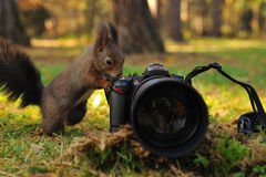Curious brown squirrel with camera. On green grass in forest stock image