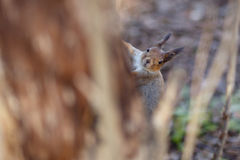 Curious brown squirrel peeking out from a tree Royalty Free Stock Images